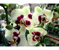 Phalaenopsis PH 129 (Phal.tying Shin Ruby x Phal.Taipei Gold)