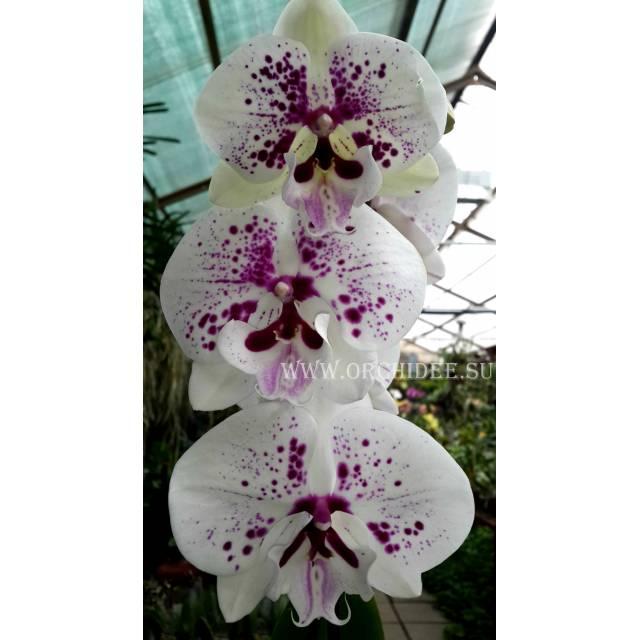 Phalaenopsis PH 131 Yu Pin Easter Island 'Leontine' x Phal.( Chian Xen Magpie- Mount Lip)