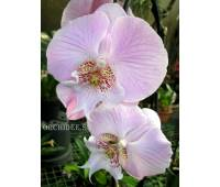 Phalaenopsis PH 135