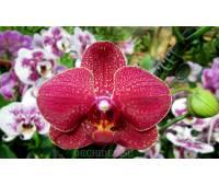 Phalaenopsis PH 027 Taida salu