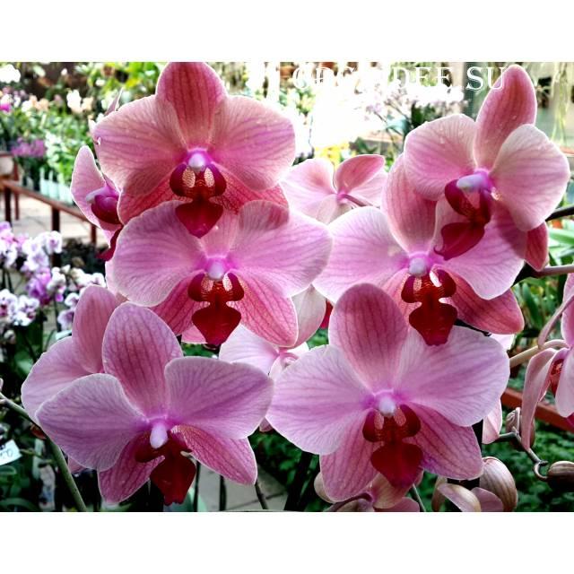 Phalaenopsis PH 032