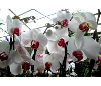 Phalaenopsis PH 122 Red lip