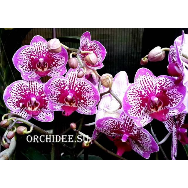Phalaenopsis PH 085