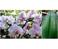 Phalaenopsis PHM 011 Pinlong Cheris