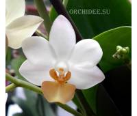Doritaenopsis PHM 014 Liu's Triprince