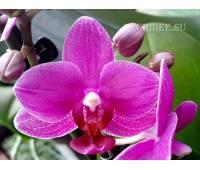Phalaenopsis PHM 020 Catalina