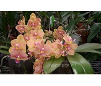 Phalaenopsis PHM 023