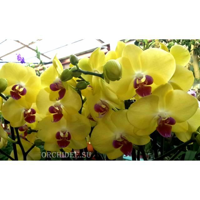 Phalaenopsis PY 004 Miraflore yellow