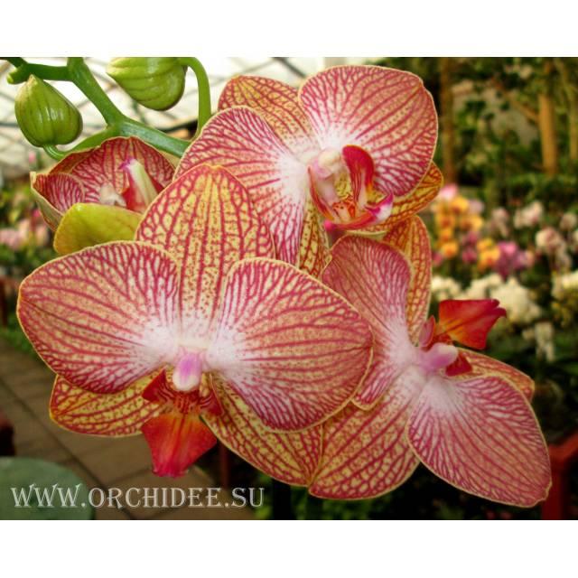 Phalaenopsis PH 096