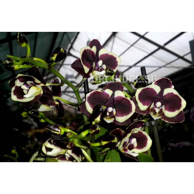 Phalaenopsis PHM 008 Brown Sugar