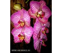 Phalaenopsis PH 012 Happy Minho Striped