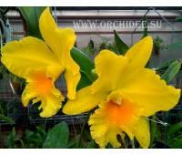 Potinara Haw Yuan Gold (Potinara Lemon Tree x Brassolaeliocattleya Tassie Barbero)