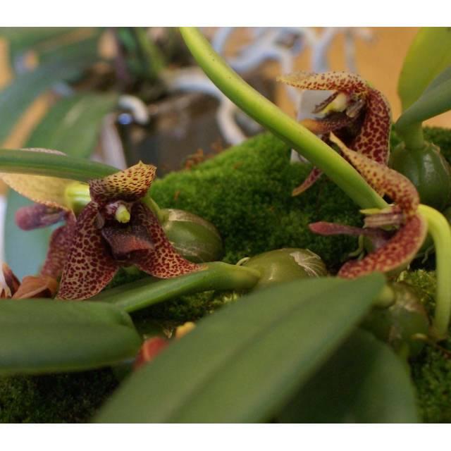 Trias disciflora
