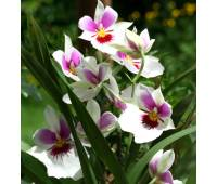 Miltoniopsis Arthur Cobbledick hybrid
