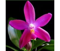 Phalaenopsis speciosa Tozzing x Phalaenopsis violacea var.coerulea Indigo