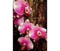 Phalaenopsis PH 076 Champion Phantom