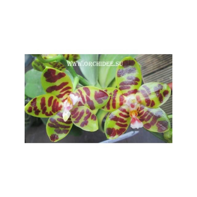 Phalaenopsis David Lim (P. amboinensis x P. gigantea)
