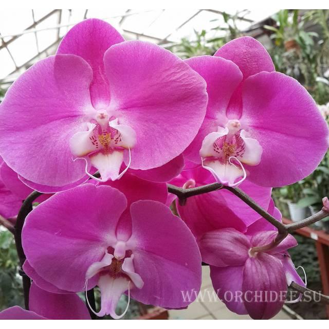 Phalaenopsis PH 061 Dark Pink