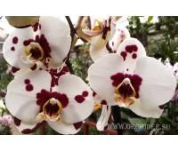 Phalaenopsis PH 064 Sogo Melody
