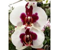 Phalaenopsis PH 065 Joker