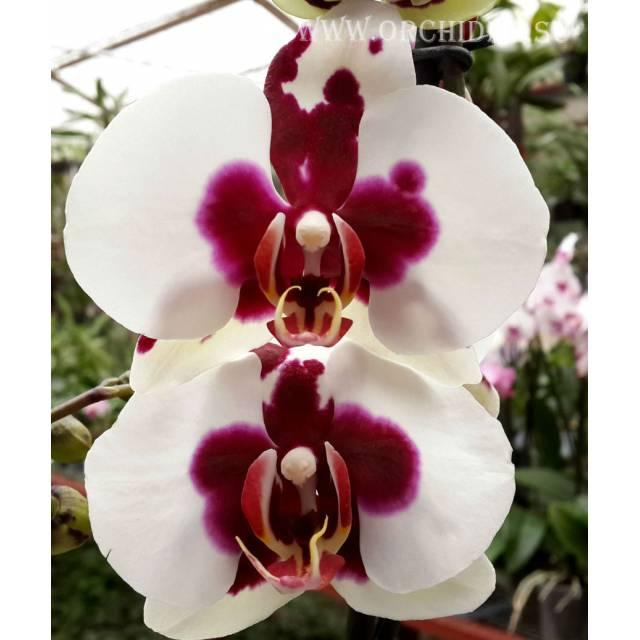 Phalaenopsis PH 065 Joker