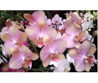 Phalaenopsis PH 072 Tropic Bronze