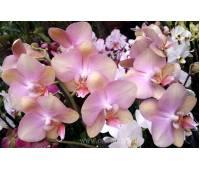 Phalaenopsis PH 072 Tropic Bronze