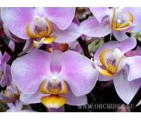 Phalaenopsis PH 074  Maki Watanabe 'Bedford-Wickford' AM/AOS