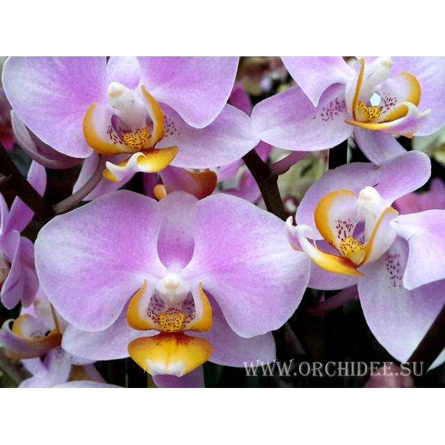 Phalaenopsis PH 074  Maki Watanabe 'Bedford-Wickford' AM/AOS
