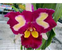Brassolaeliocattleya Chinese Beauty