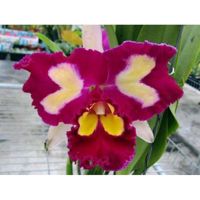 Brassolaeliocattleya Chinese Beauty