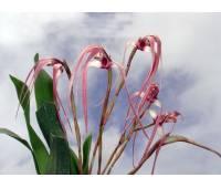 Maxillaria longissima