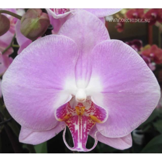 Phalaenopsis PH 021