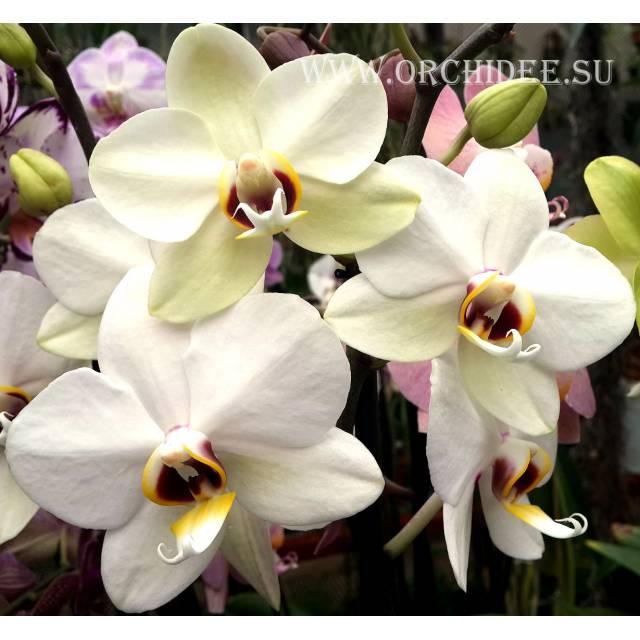 Phalaenopsis PH 066 Valencia