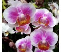 Phalaenopsis PHM 090 Havana