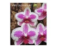 Phalaenopsis PH 028 Butterfly Beauty