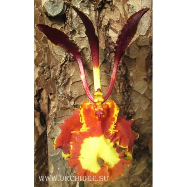 Psychopsis Mariposa 'Twin'