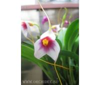 Masdevallia exquisita 'Mary' (M. Mary Staal x M. exquisita)