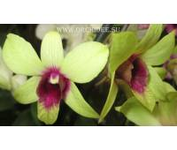Dendrobium phalaenopsis 'Anna Green hight'