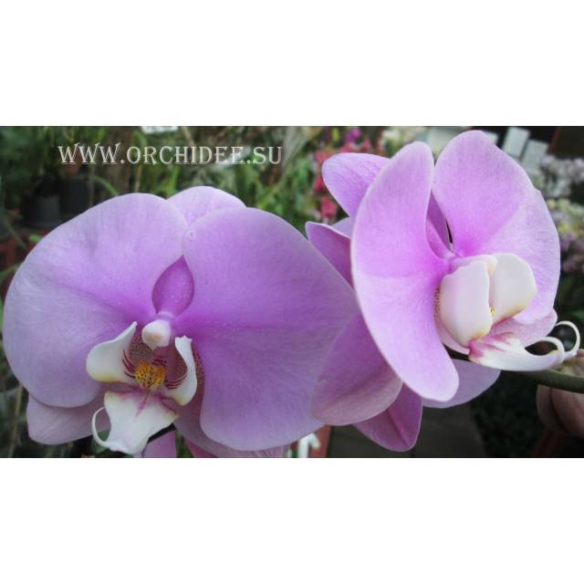 Phalaenopsis PH 046 Hilo Lip
