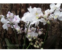 Phalaenopsis PH 036 Wildflowers Pink Cascade
