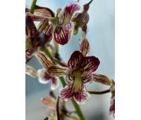 Oeceoclades (Eulophia) saundersiana