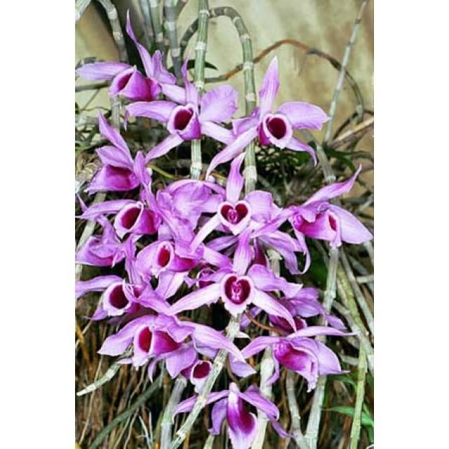 Dendrobium anosmum
