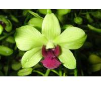 Dendrobium phalaenopsis Burana Green Star