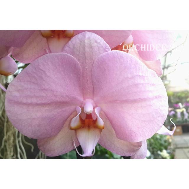 Phalaenopsis PH 019 Aiko