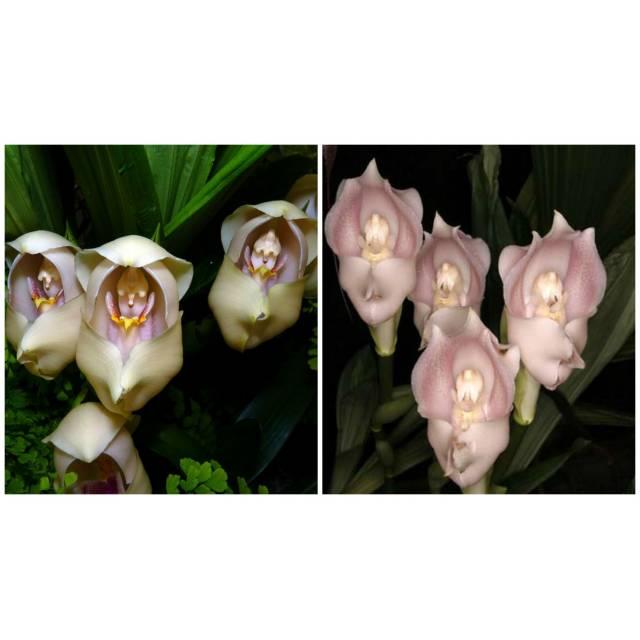 Anguloa uniflora x Anguloa virginalis