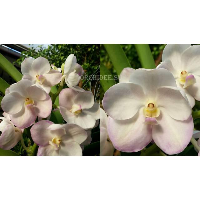 Ascocenda Muang Thong 'Pink Charm' No. 2