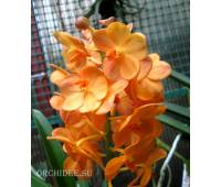 Ascocenda Magic Orange