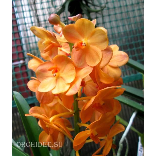 Ascocenda Magic Orange