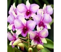 Dendrobium phalaenopsis Rainbow Fantasy